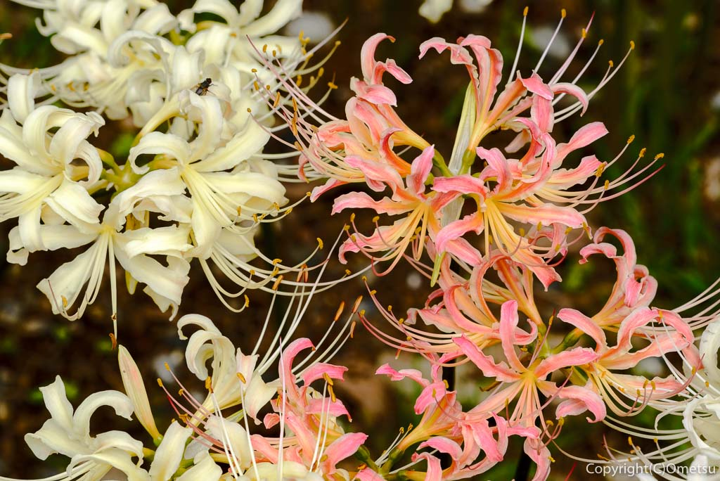 青梅吹上しょうぶ園の、白とピンクの彼岸花