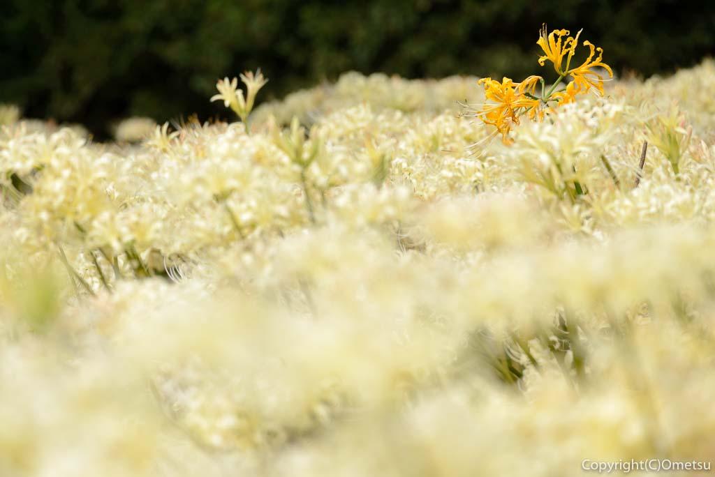 青梅吹上しょうぶ園の、白い彼岸花とリコリス