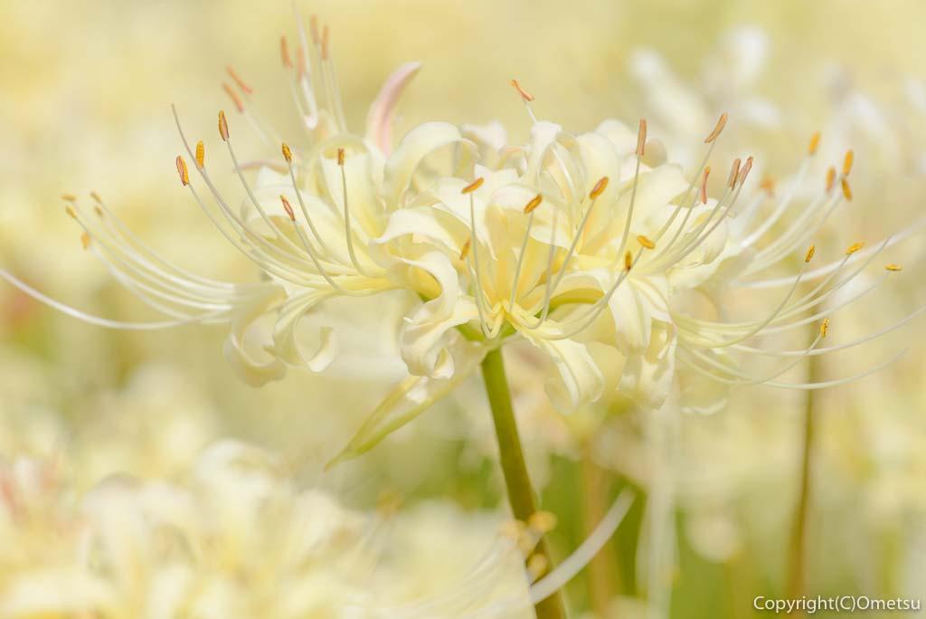 青梅吹上しょうぶ園の、白い彼岸花