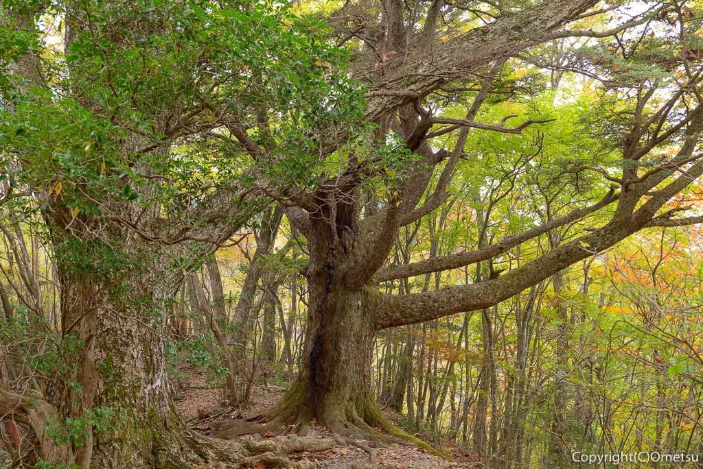 御岳山〜大岳山の縦走路の大木