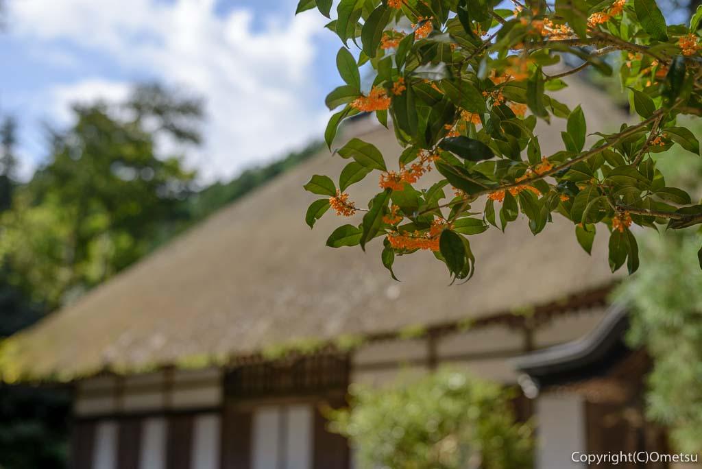 あきる野市・広徳寺のキンモクセイ