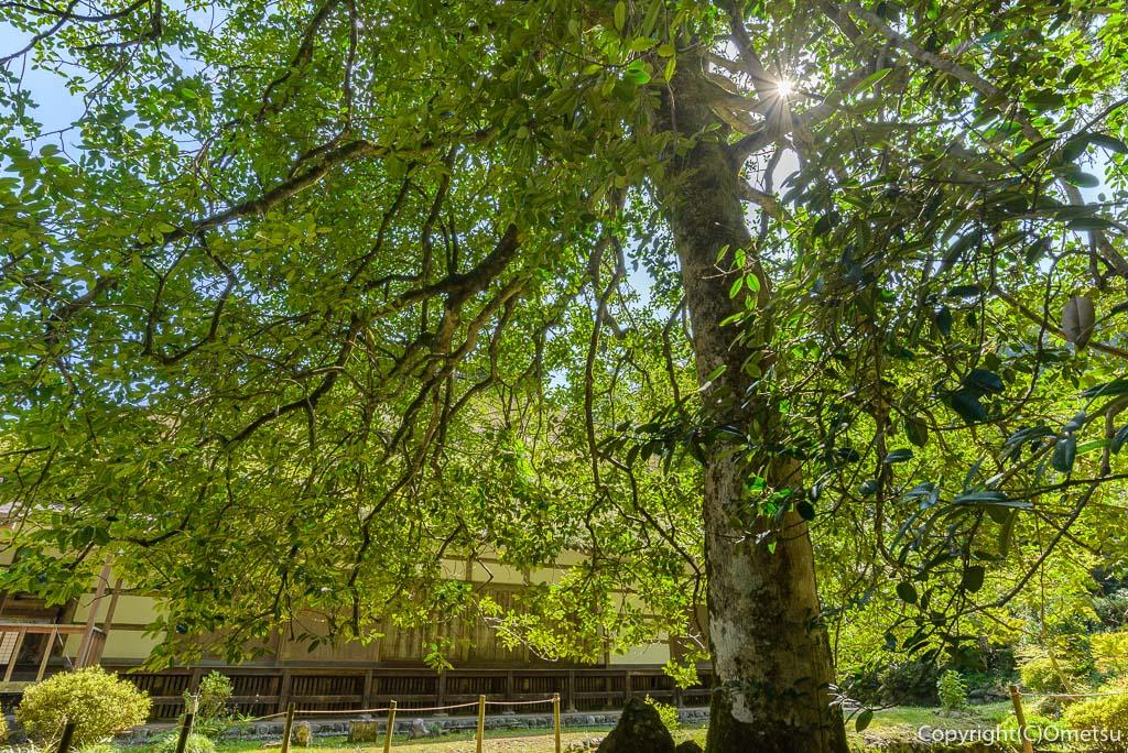 あきる野市・広徳寺の、タラヨウの木