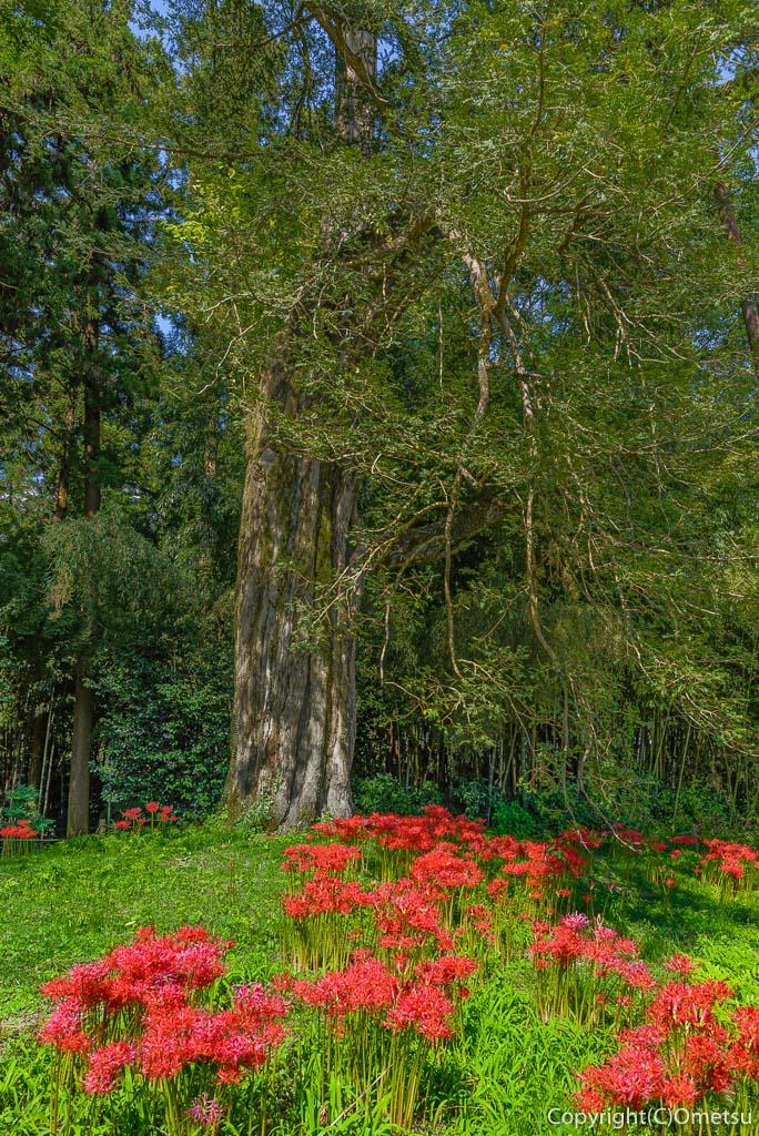 あきる野市・広徳寺の、カヤの巨木