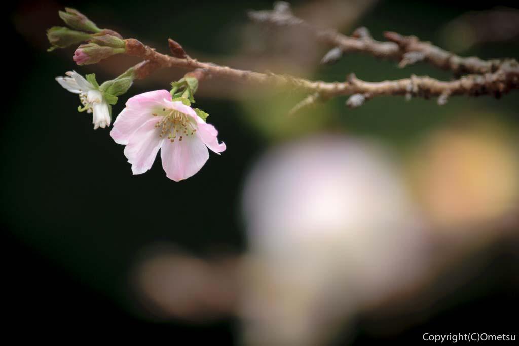 青梅市の新町御嶽神社の秋の、桜