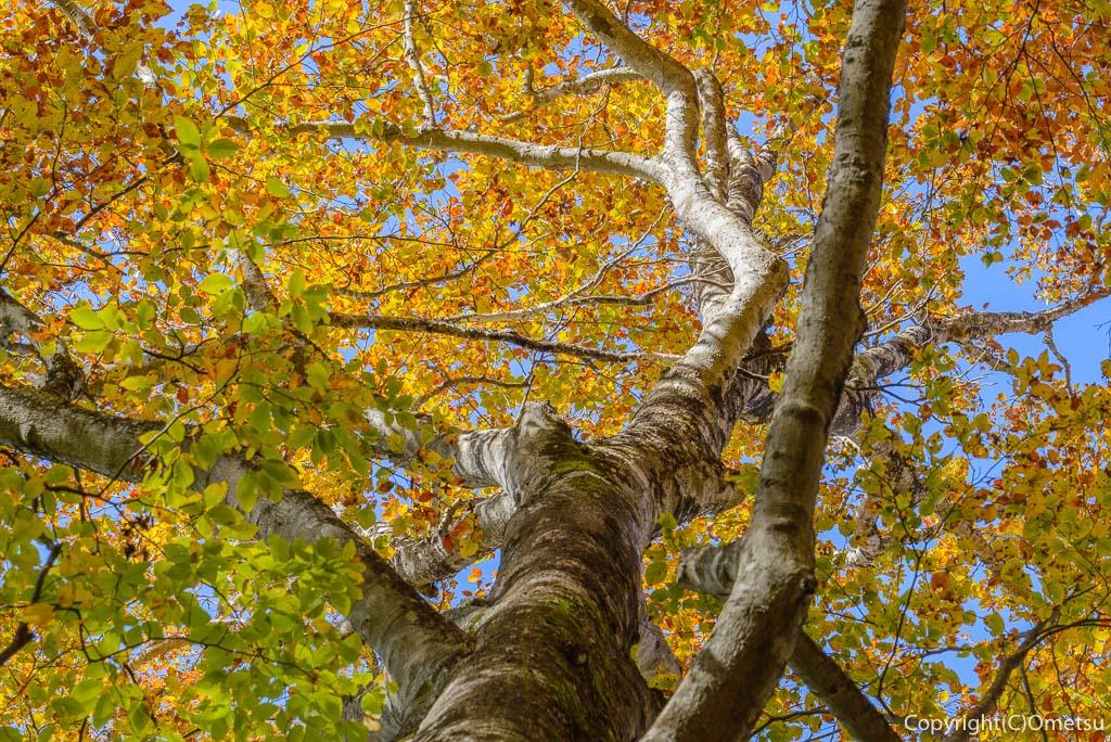 鶴峠〜三頭山の登山道のブナの木