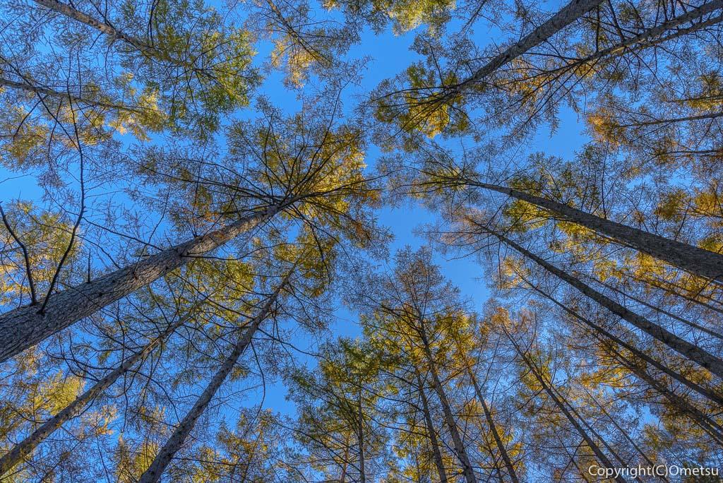槇寄山登山道の、カラマツ林