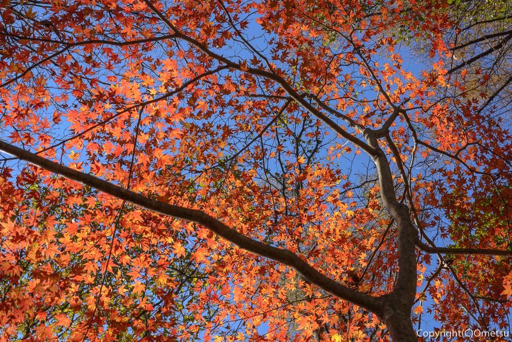 槇寄山の紅葉