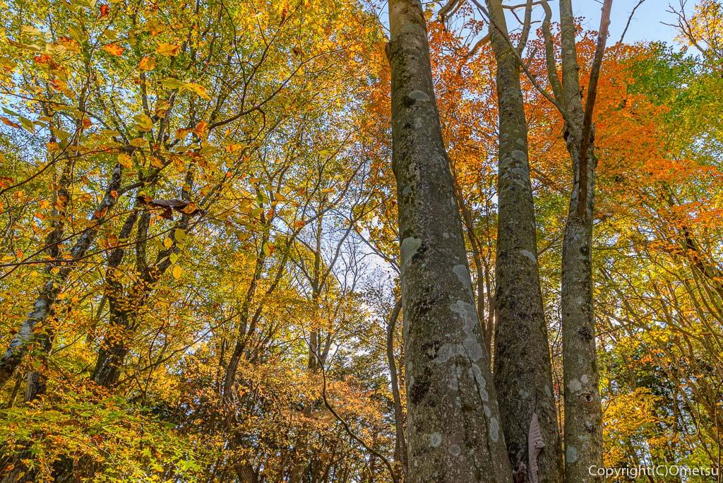 笹尾根のブナ林