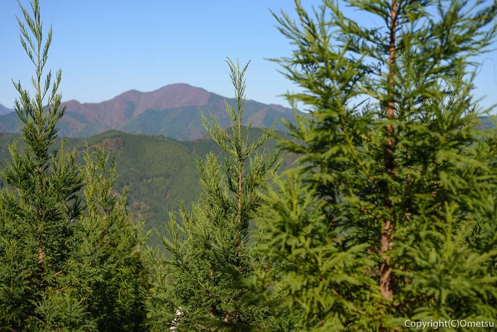 笛吹峠登山道の、若い杉