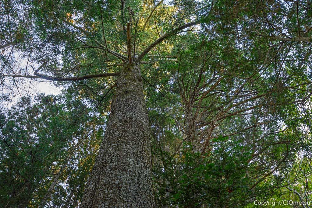 笛吹峠登山道の、杉の巨木
