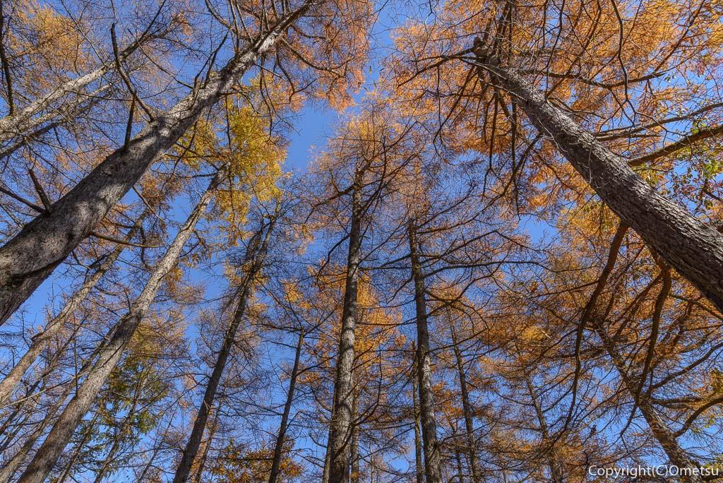 本仁田山のカラマツ林