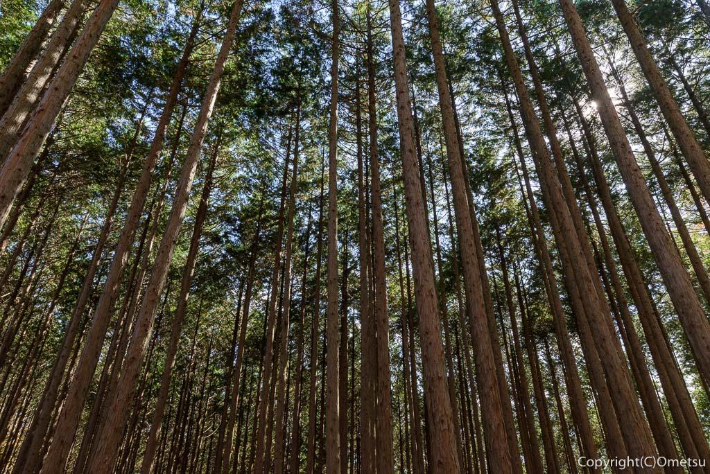 本仁田山・杉ノ尾根の杉林