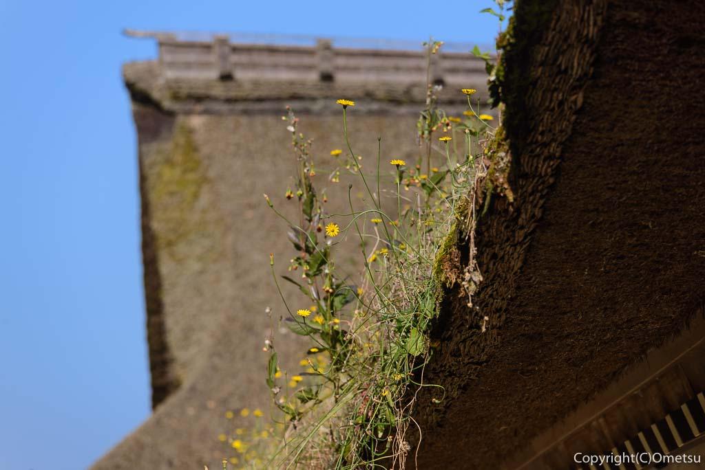 あきる野市・広徳寺の本堂の茅葺きの花