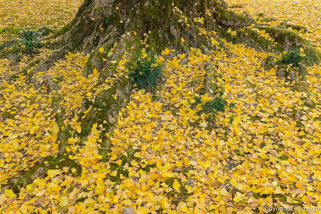 あきる野市・広徳寺のイチョウの落ち葉