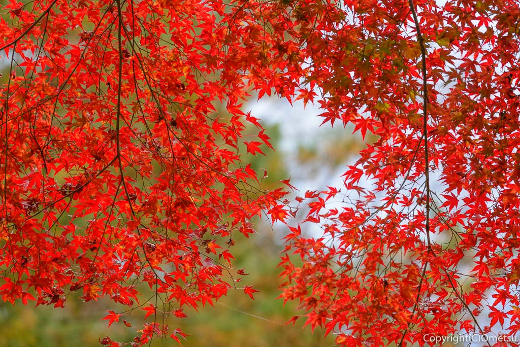 青梅市の、ブリヂストン奥多摩園の紅葉