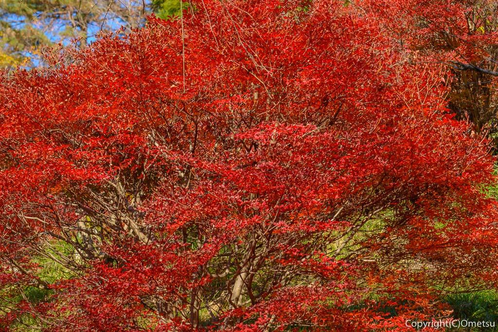 青梅市、永山公園の桜見本園のツツジの紅葉