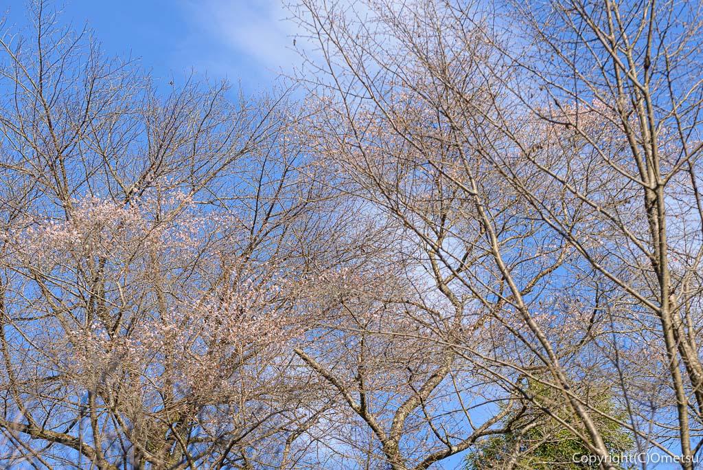 青梅市、永山公園の桜見本園のシキザクラ