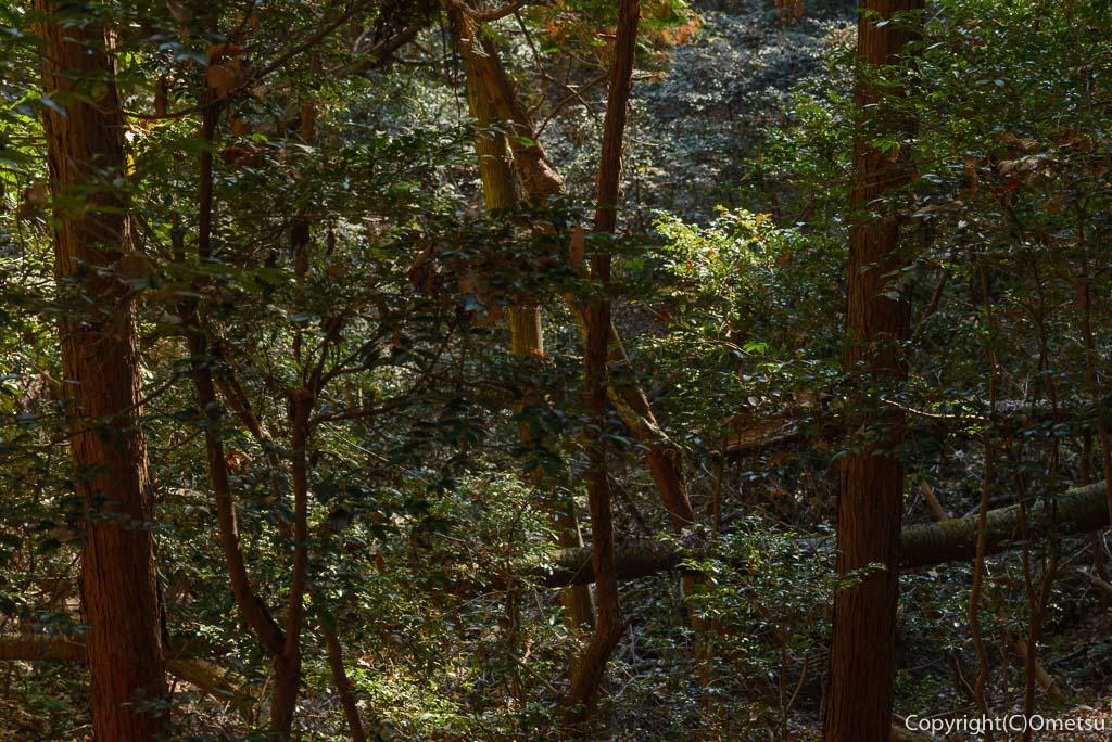 青梅の森の、常緑樹