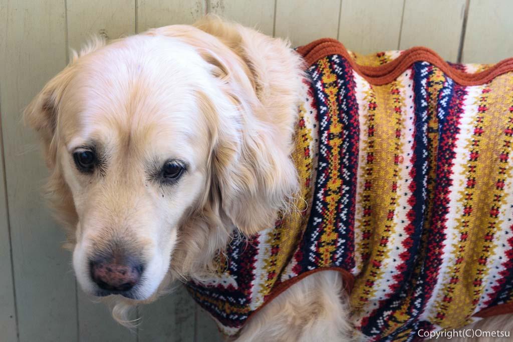 羽村市のドッグカフェ、ペラゾカフェの看板犬、オルカ