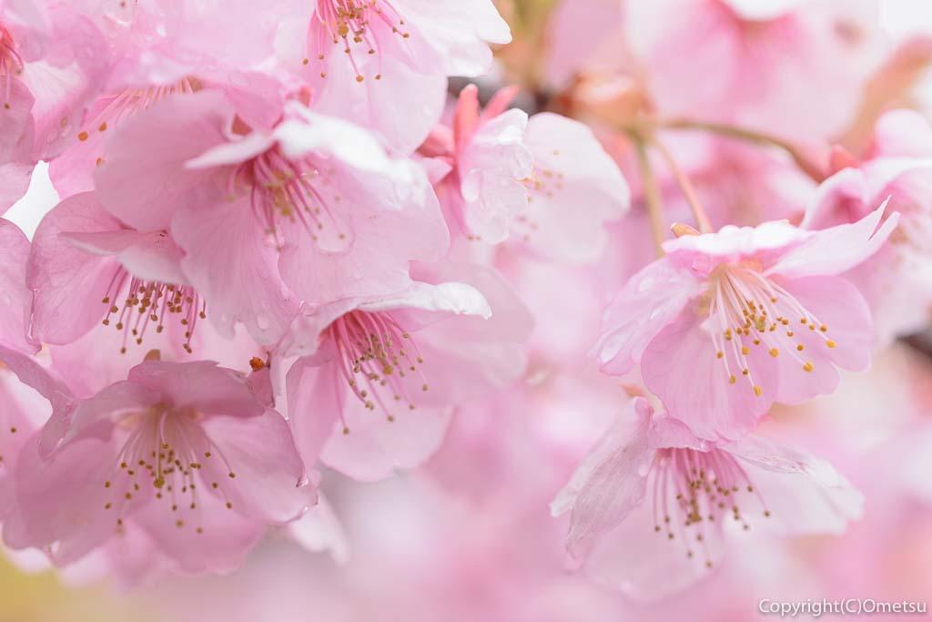 青梅市・わかぐさ公園の桜
