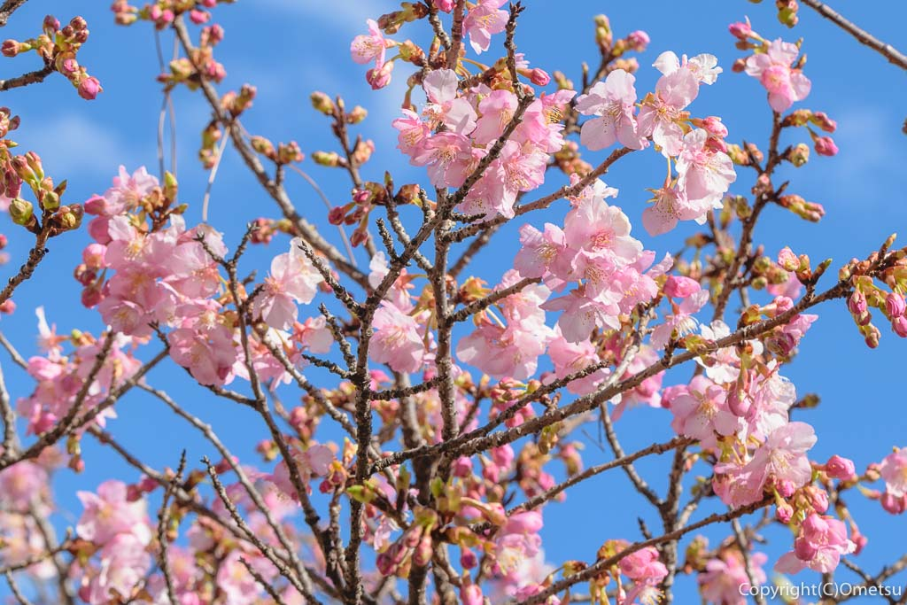 青梅市・わかぐさ公園の河津桜