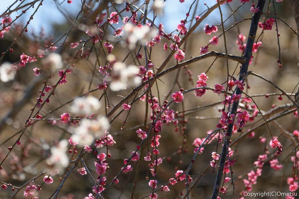 青梅市・梅郷の梅の公園の梅
