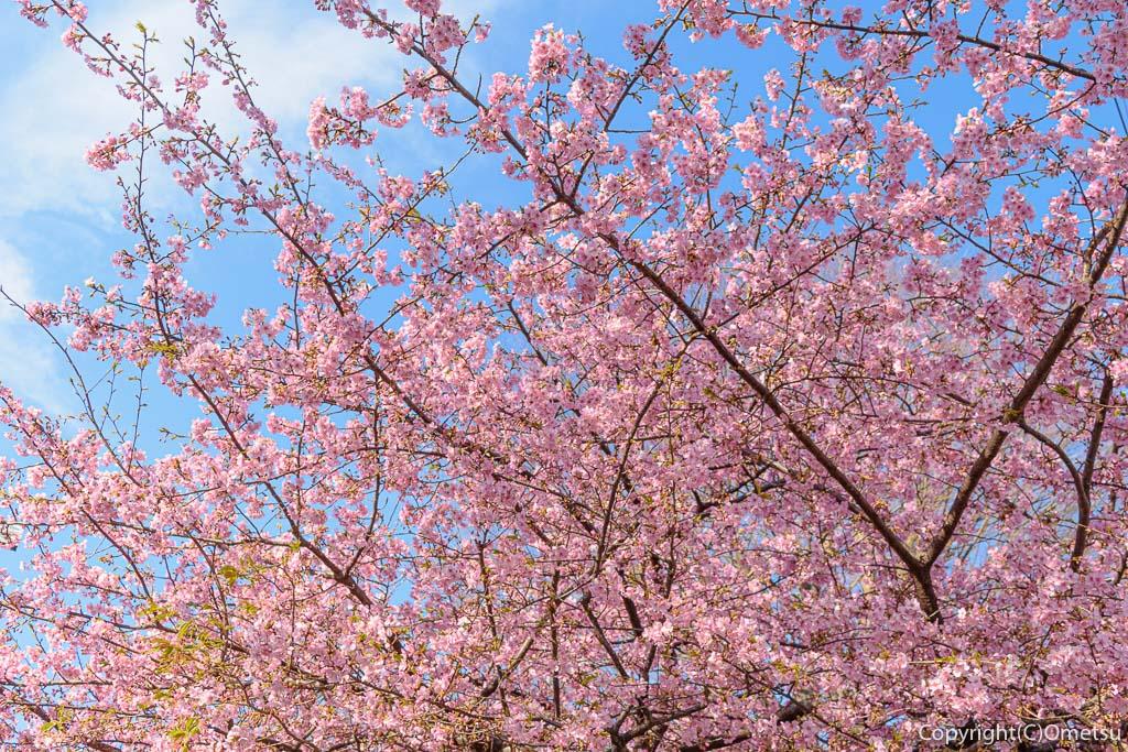 羽村市・けやき児童公園の河津桜