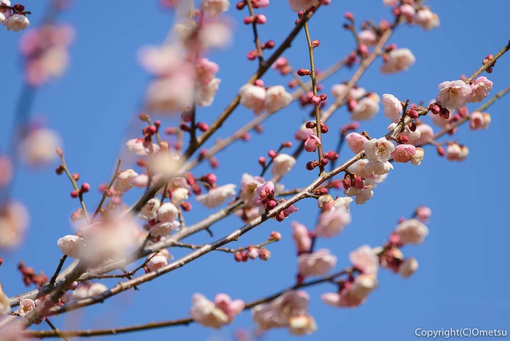 青梅市・成木・栗平の薄紅の梅