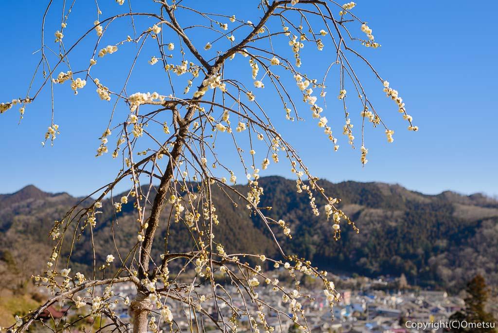 青梅市・吉野梅郷の再植栽の梅