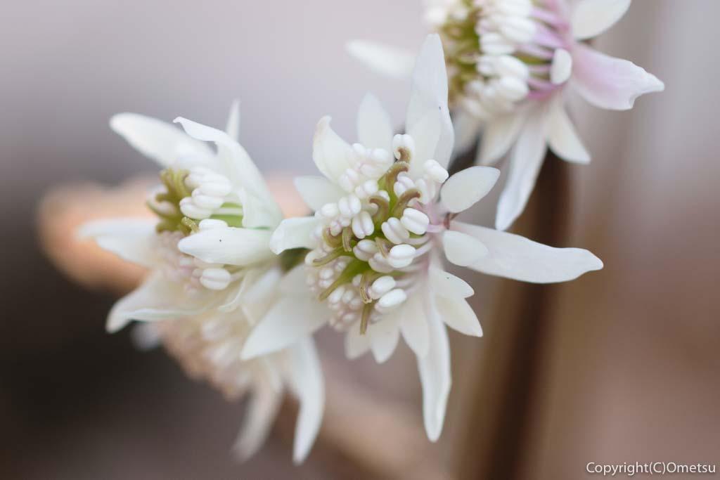 あきる野市・小峰公園の、セリバオウレンの両性花