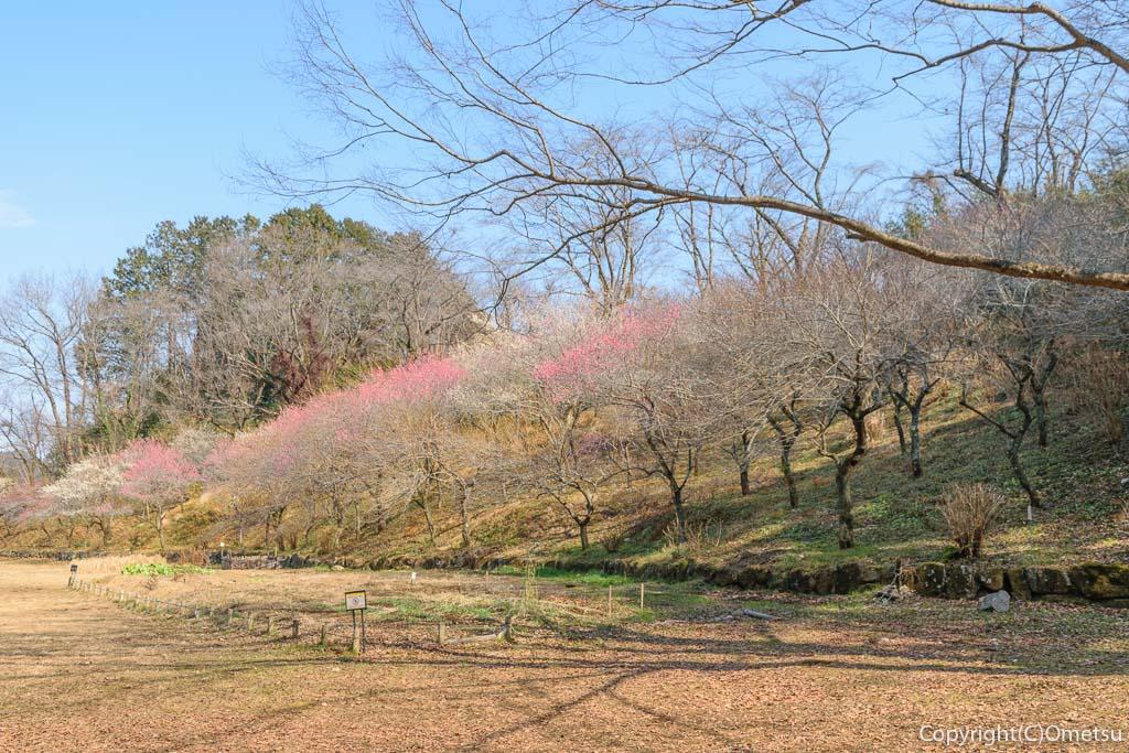 あきる野市・小峰公園の、梅