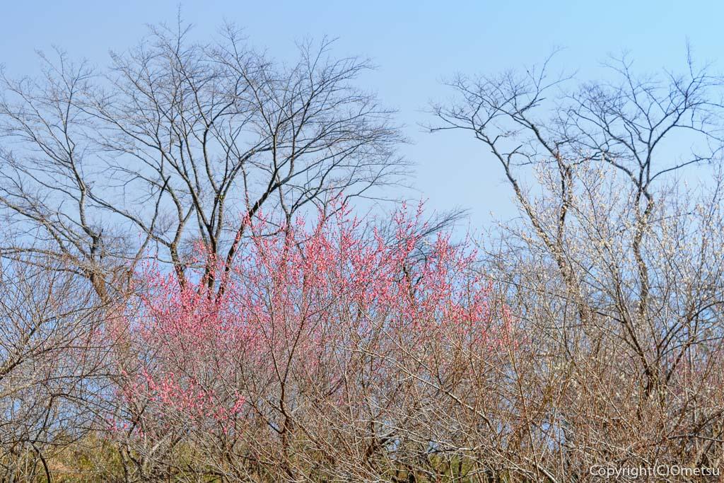 あきる野市・小峰公園の、紅梅