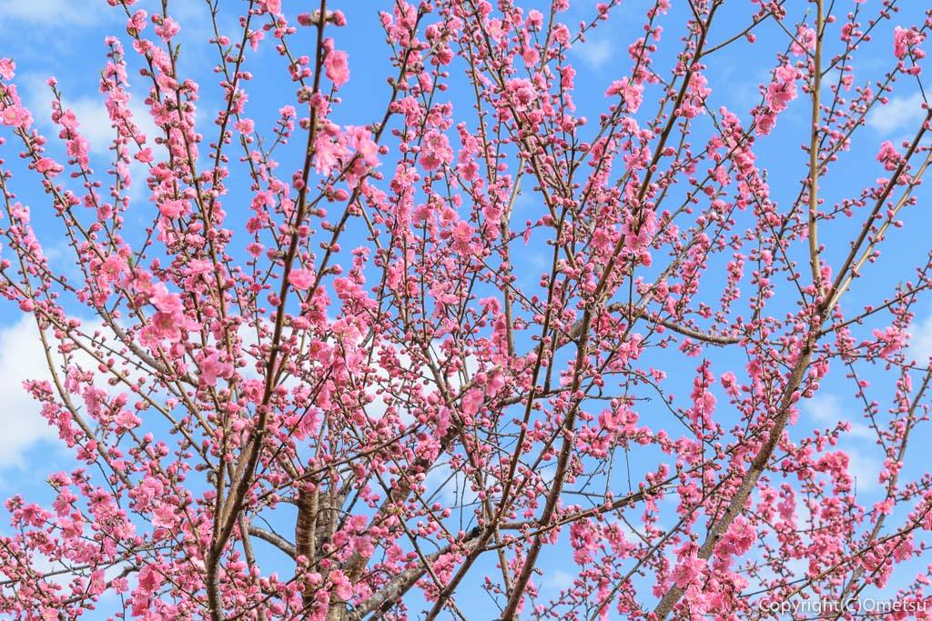青梅市・成木の安楽寺の桃