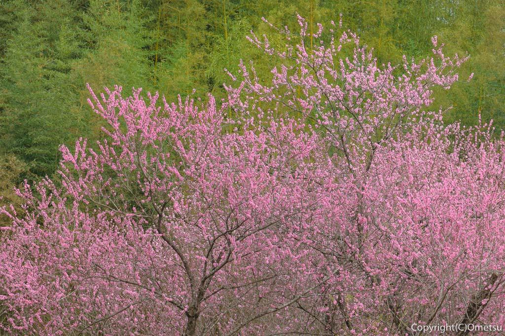 青梅市・成木の安楽寺の桃と竹林