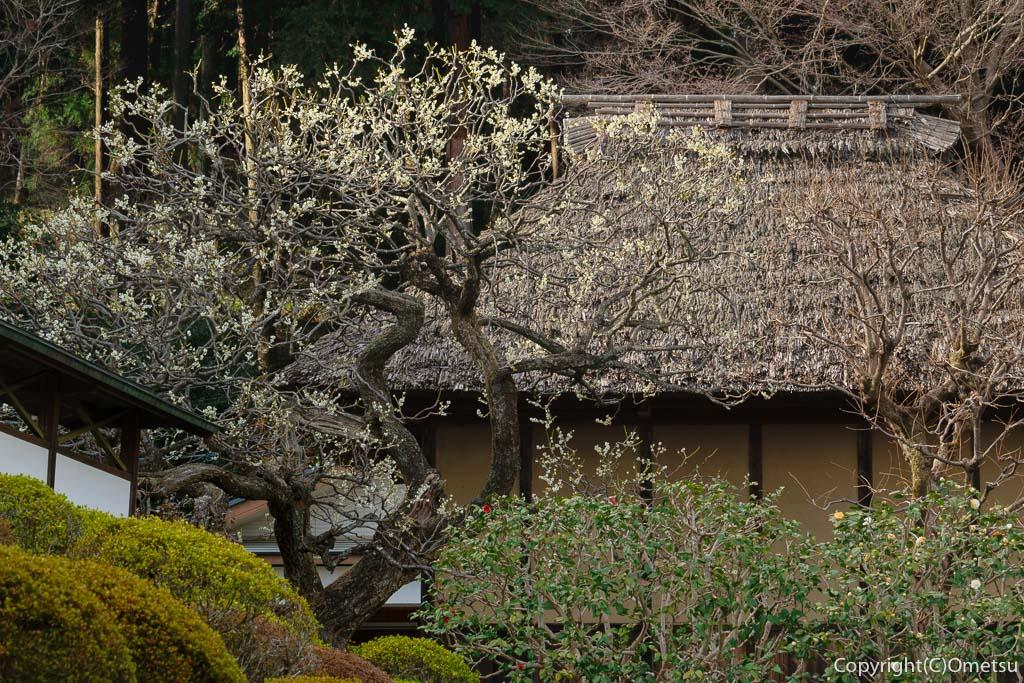 青梅市・成木の安楽寺の白梅