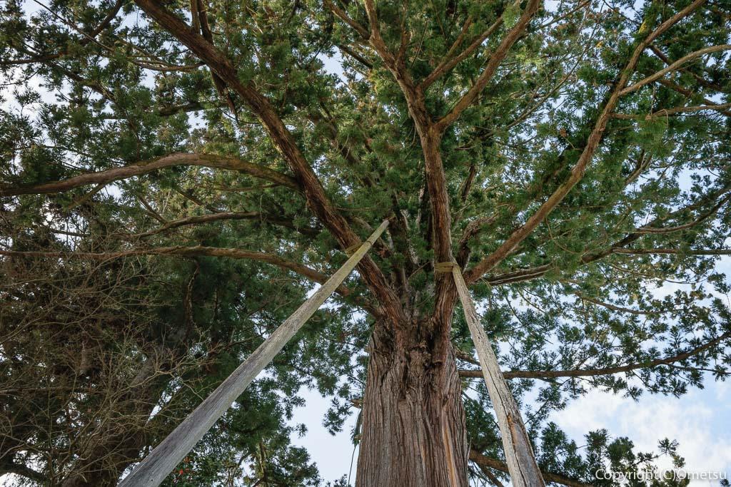 青梅市・成木の安楽寺の大杉