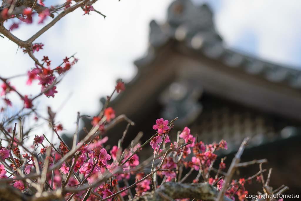 青梅市・成木の安楽寺の紅梅