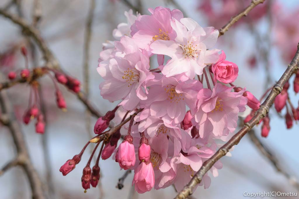 羽村市の桜