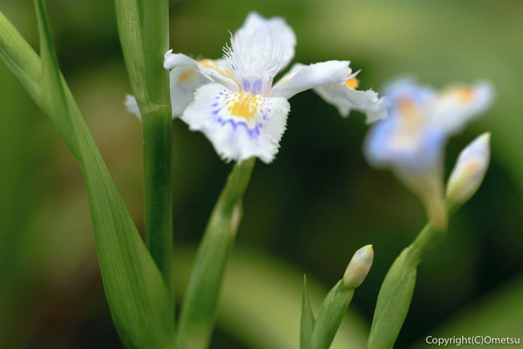 羽村市のシャガの花