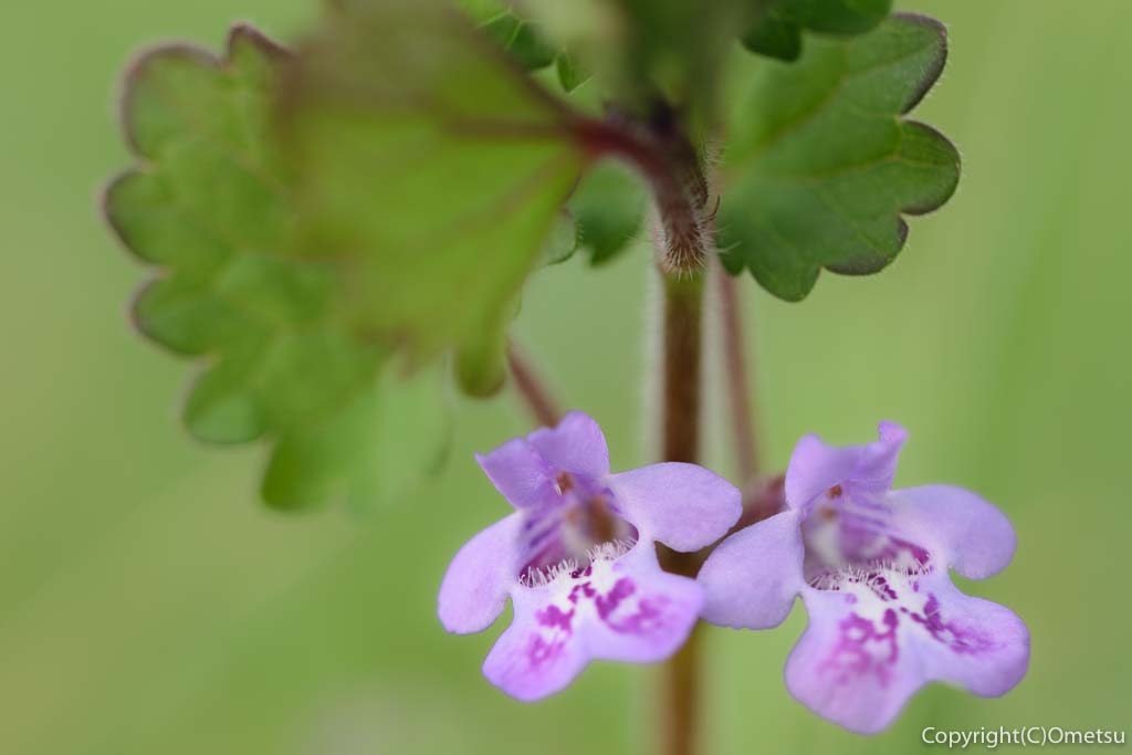 羽村市のカキドオシの花