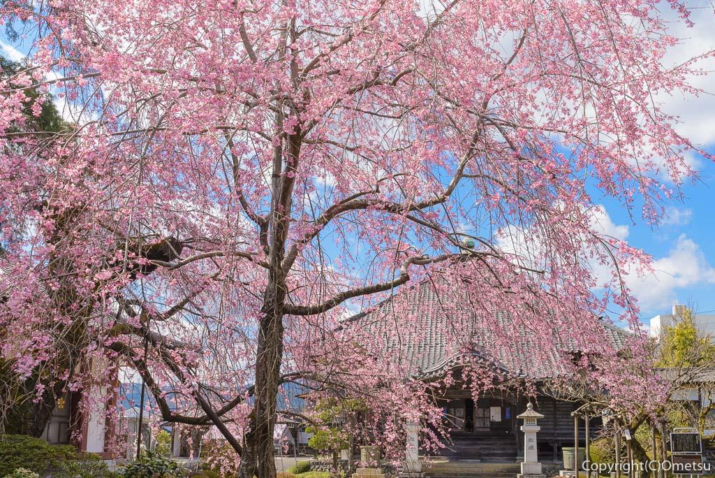 青梅・天ヶ瀬の金剛寺・しだれ桜と本堂