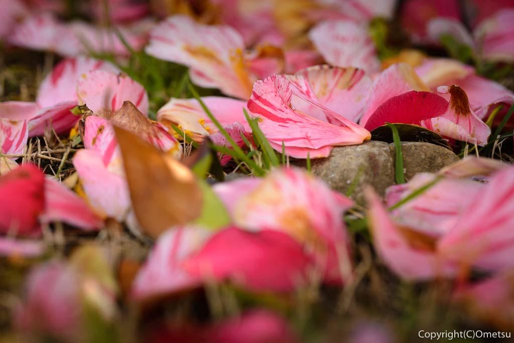青梅・金剛寺の椿の散り花