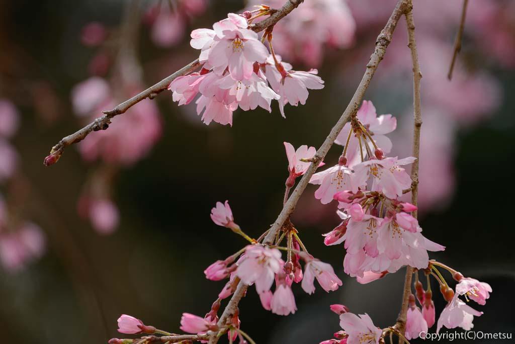 青梅・天ヶ瀬の金剛寺の、しだれ桜