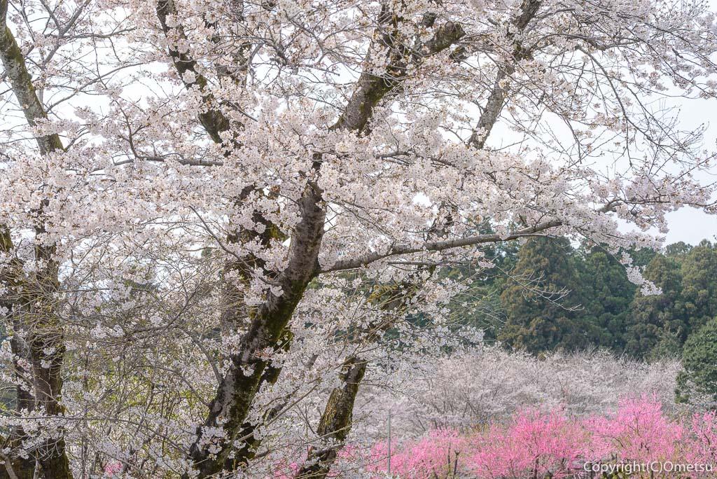 青梅市・安楽寺近くの、桜と桃