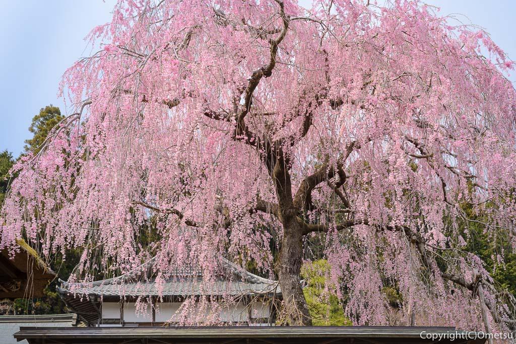 青梅市・安楽寺の、しだれ桜