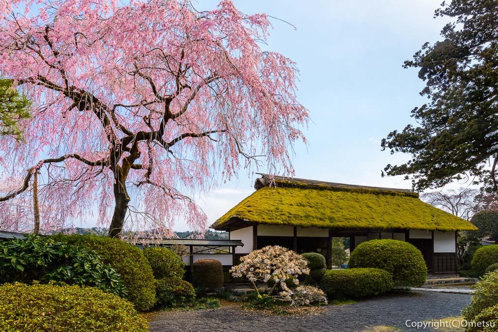 青梅市・安楽寺の、しだれ桜と長屋門