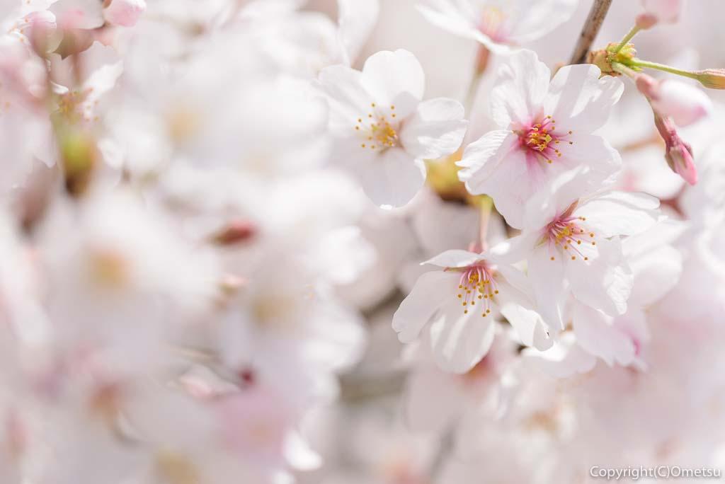 福生市・多摩川堤防の桜