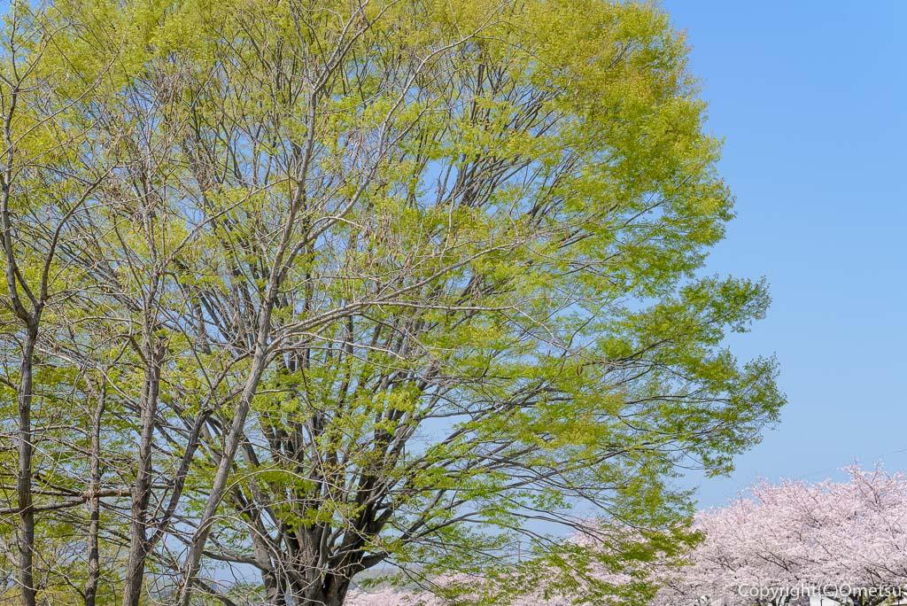 福生市の多摩川中央公園の新緑と桜並木