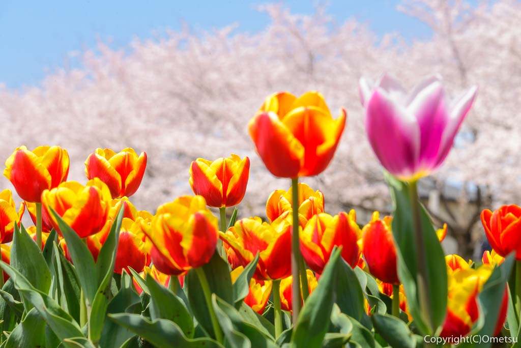 福生市の多摩川中央公園のチューリップと桜