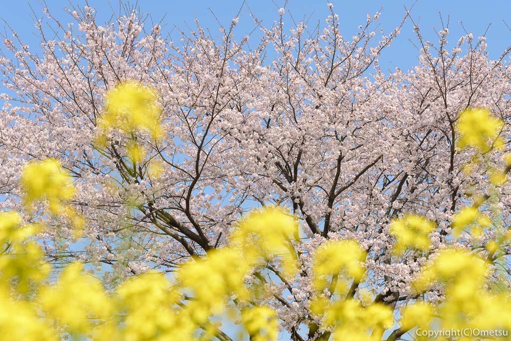 福生市の多摩川中央公園の、菜の花と、桜